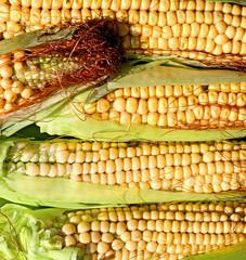 Background of fresh yellow corn cobs