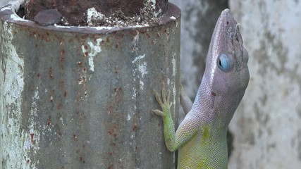 Cuban green and blue chameleon