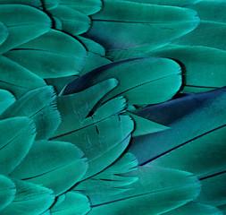 Ara piór (turkusowy)
