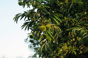 Japanese Chestnut-7