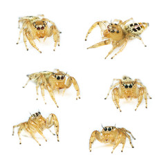 Female Thyene imperialis jumping spider set isolated