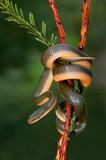 Fotoroleta Aurora house snake