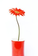 Red Gerbera flower in red coffee cup