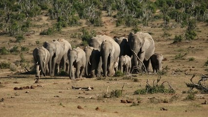 Herd of African elephants walking in natural habitat