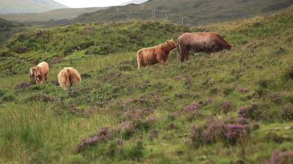 Two sceneso of highland cattle on pasture