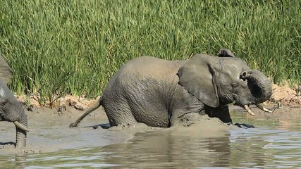 African elephant  trapped in mud, Addo Elephant Park