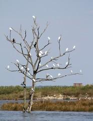 groupe d'aigrettes perchées sur un arbre mort