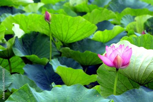 In de dag Lotusbloem Pink water lily