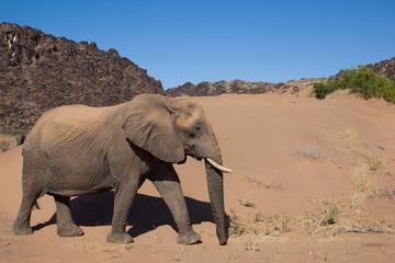 Elefante del deserto in Namibia