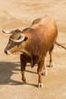 Toro Bravo Español - 69833454