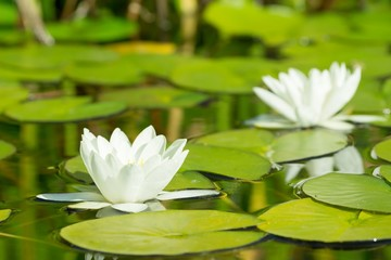 White water lily flowers and leafs