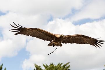 Oiseau Aigle impérial en vol