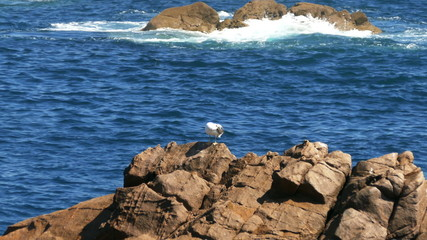 Seagull Sitting on the Rocks, background ocean with waves