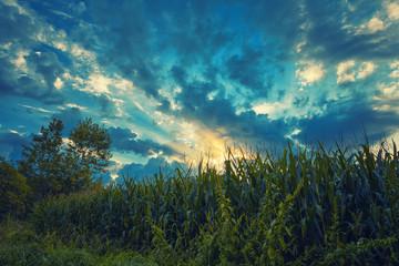 Cloud sky on grain field
