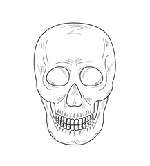sketch of the skull