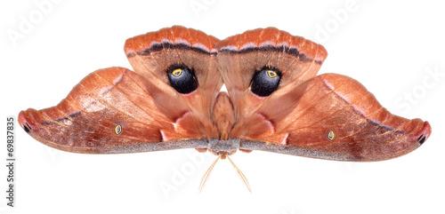 Poster Polyphemus Moth