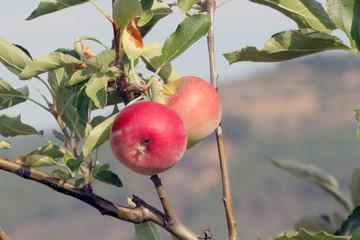 Manzanas rojas maduras, Sauceda, Hurdes, España
