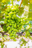 bunch of grapes on with green leaves