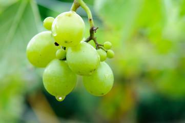 生育中のブドウ