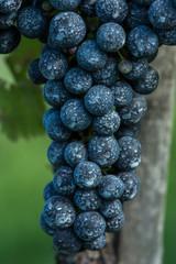 Insektizidbehandlung, Weintrauben 3