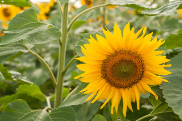 Sunflower in the field. Detail
