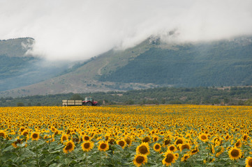 Farmer with tractor in the yellow sunflower fields