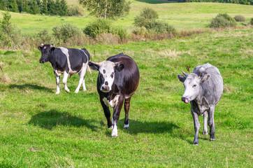 Several bulls