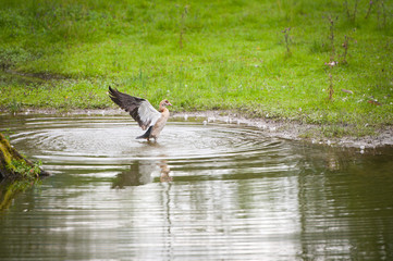 goose - Alopochen aegyptiacus - bathing in a pond