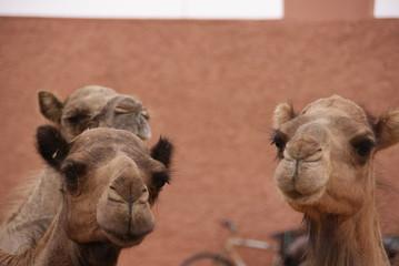 Kamelmarkt