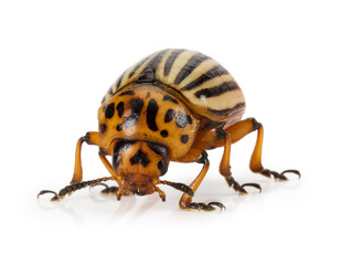 potato beetle isolated on the white background