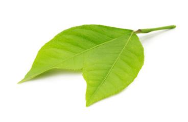 lemon leaves isolated on the white background