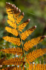 Orange fern leaf