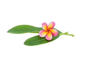 Frangipani isolated with clipping path