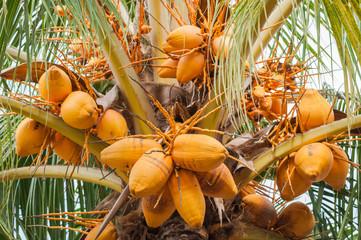 Yellow coconut on tree