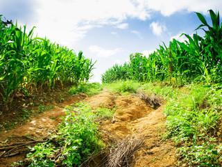 Corn field on mountain in Chiangmai, Thailand.