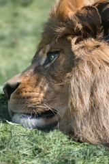 Unusual facial portrait of sleeping Barbary African Atlas Lion