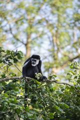 De Brazza monkey eating in treetops Cercopithectus neglectus