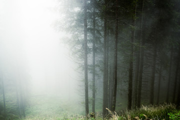 Fog in the forestof Paneveggio, Trentino - Dolomites