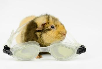 junges US-Teddy Meerschweinchen mit Schwimmbrille