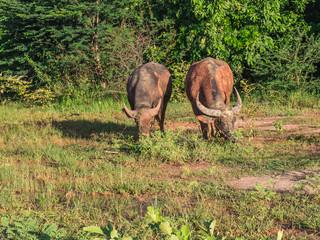 Buffalo in field, Thailand.