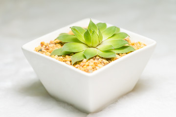 isolated succulent plant