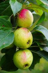 Group of apples 'Pinova'