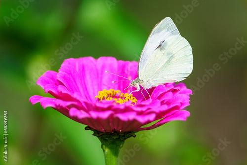 Leinwanddruck Bild White butterfly from side on flower blossom