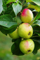 Pinova's apples on a tree