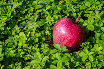 Annurca's apple in the meadow