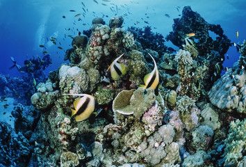 Egypt, Red Sea, Masked Butterflyfish and divers
