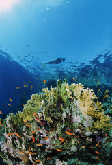 Egypt, Red Sea, Fire corals and a diver snorkeling