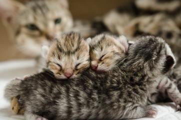 sleeping american short hair kitten