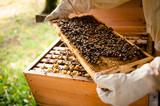 Imker untersucht Wabenrahmen mit vielen Bienen