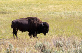 North American Bison- Buffalo in Field